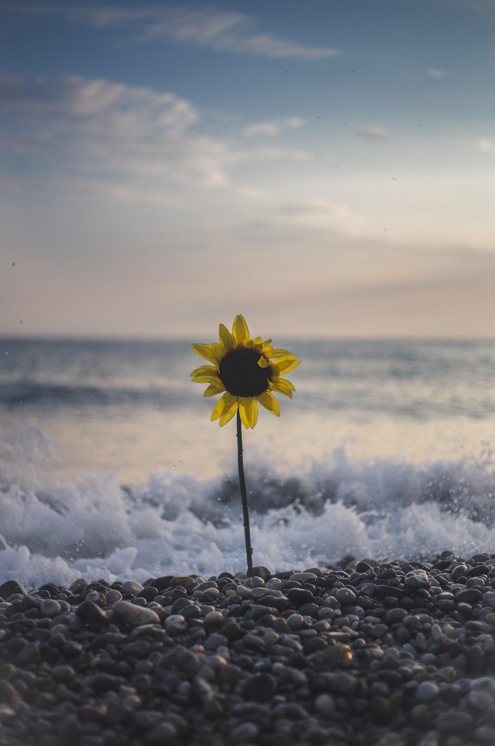 sunflowers on seashore beside wave