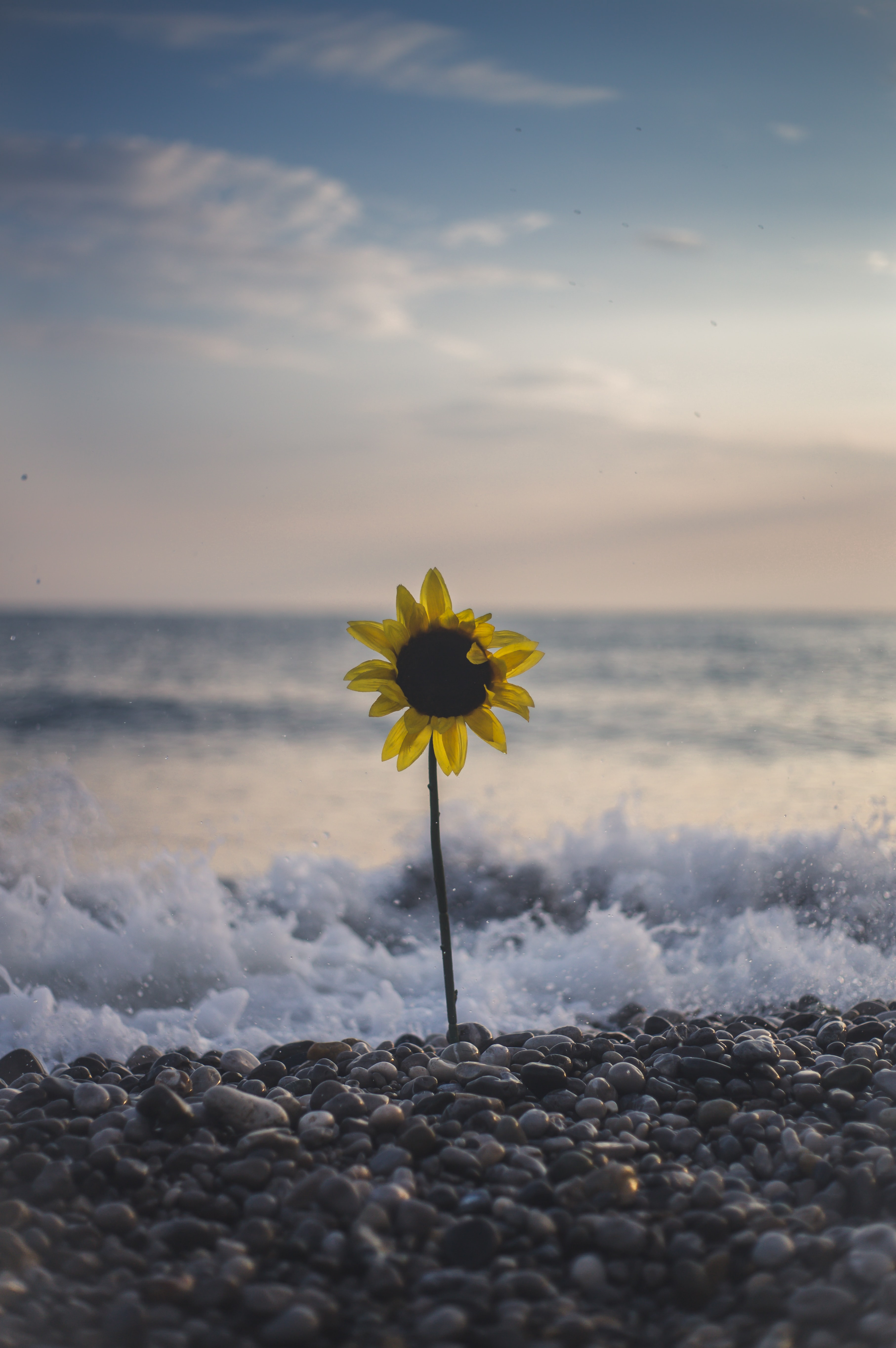 sunflowers on seashore beside wave