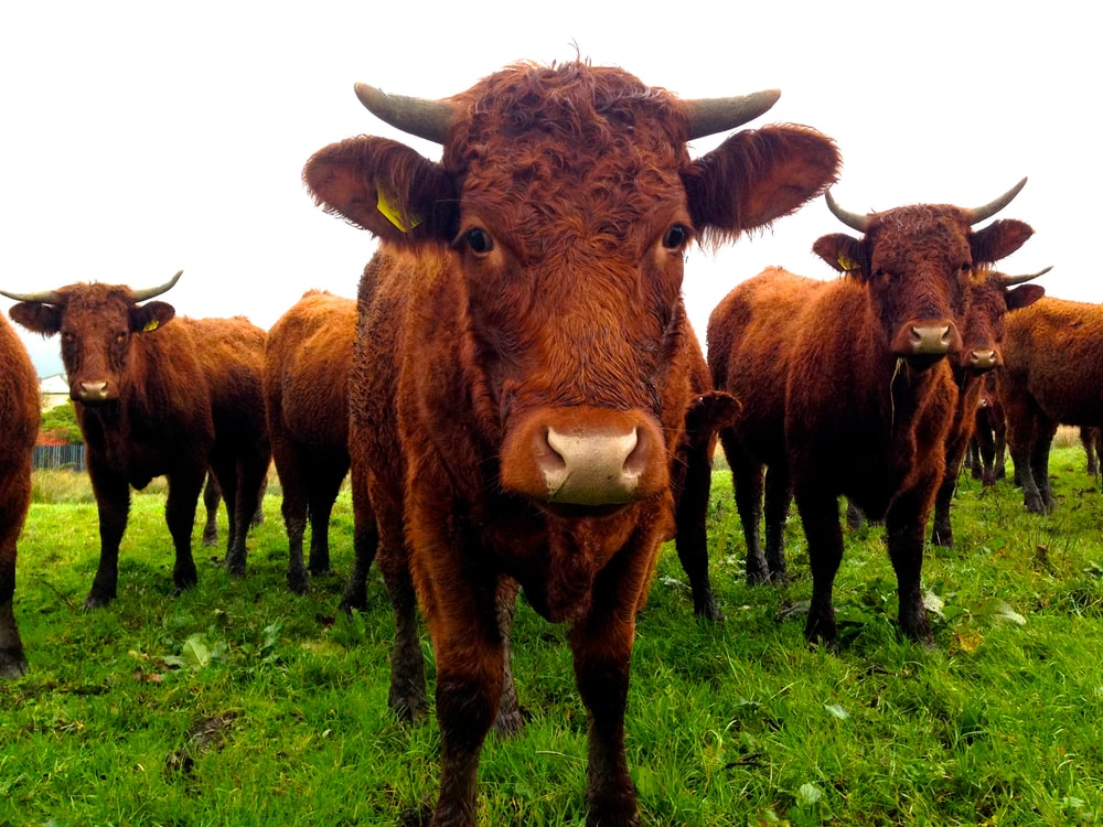 herd of brown buffalo standing on pasture