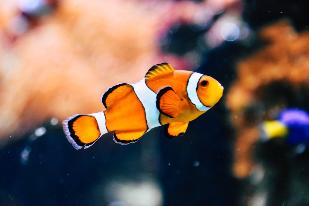 clown fish in shallow focus photography