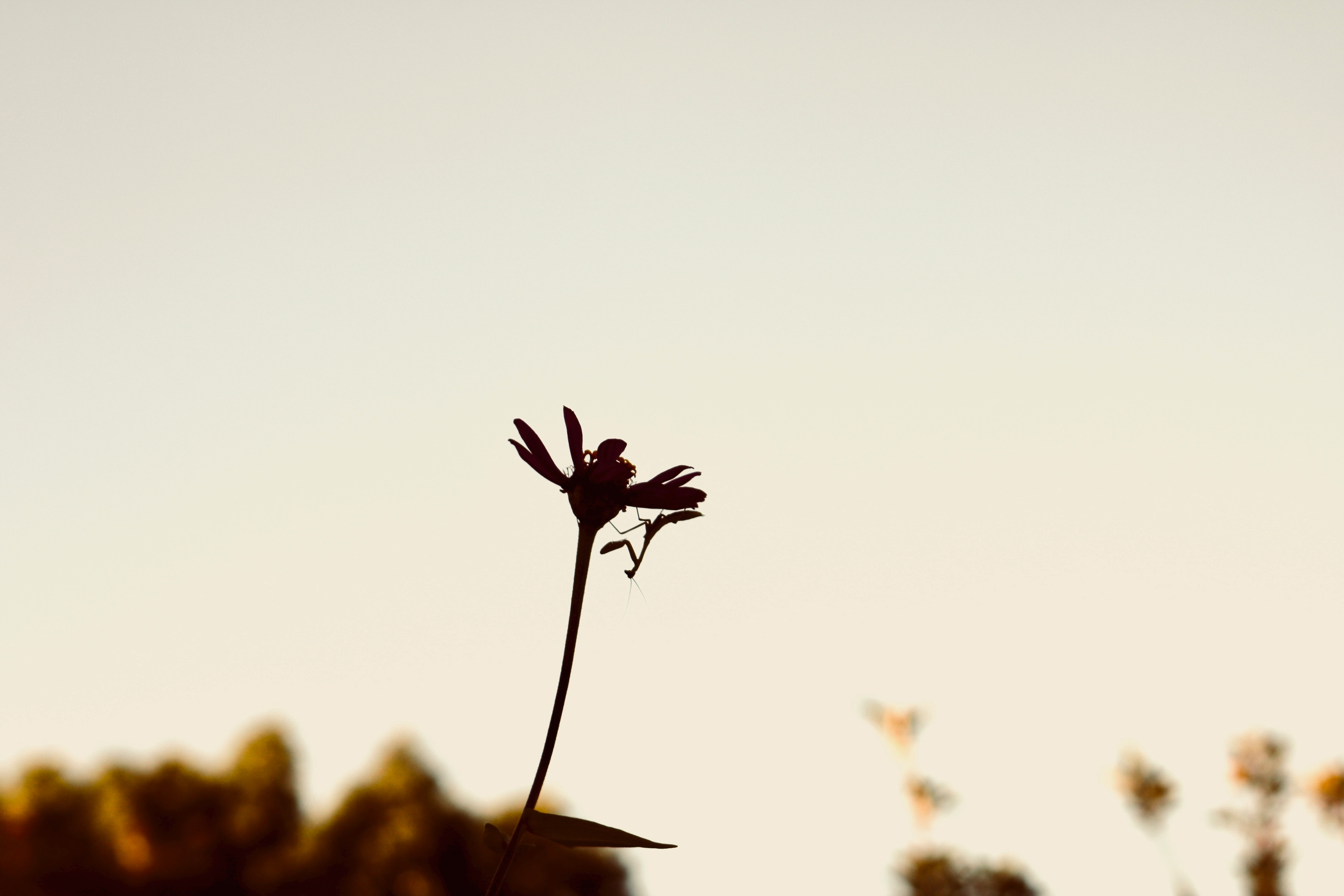 silhouette photography of flower and praying mantis