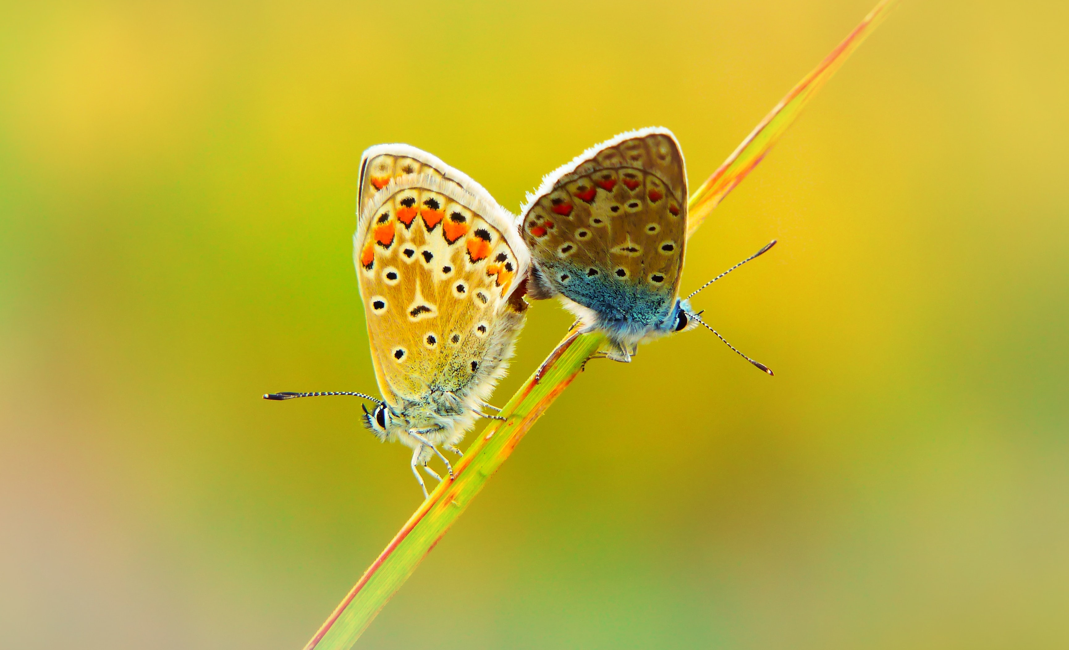 female and male butterflies