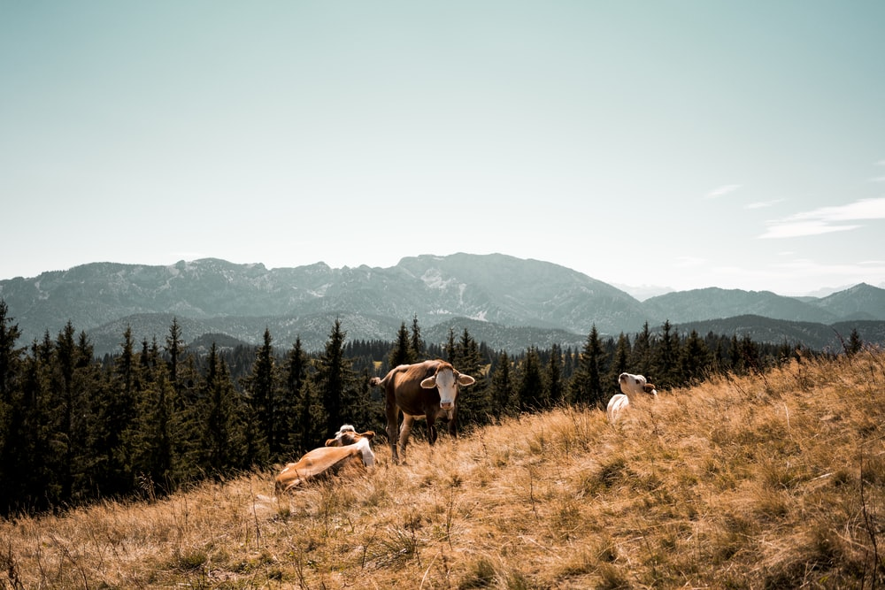 three brown and white cattle lying on dried grass taken during daytime