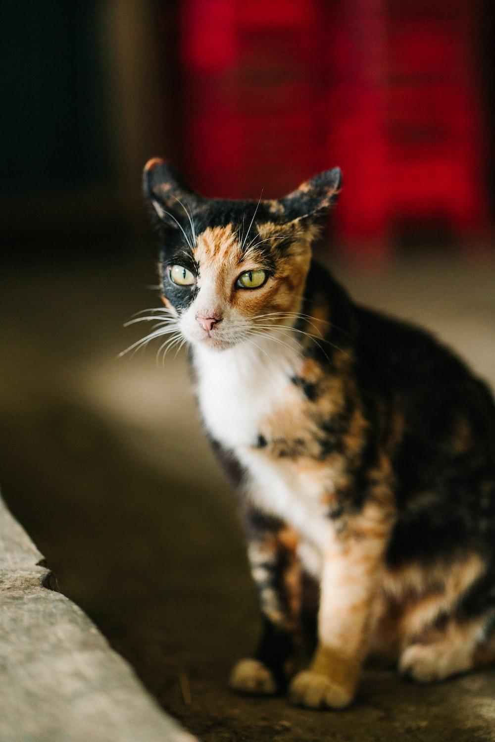 closeup photo of calico cat