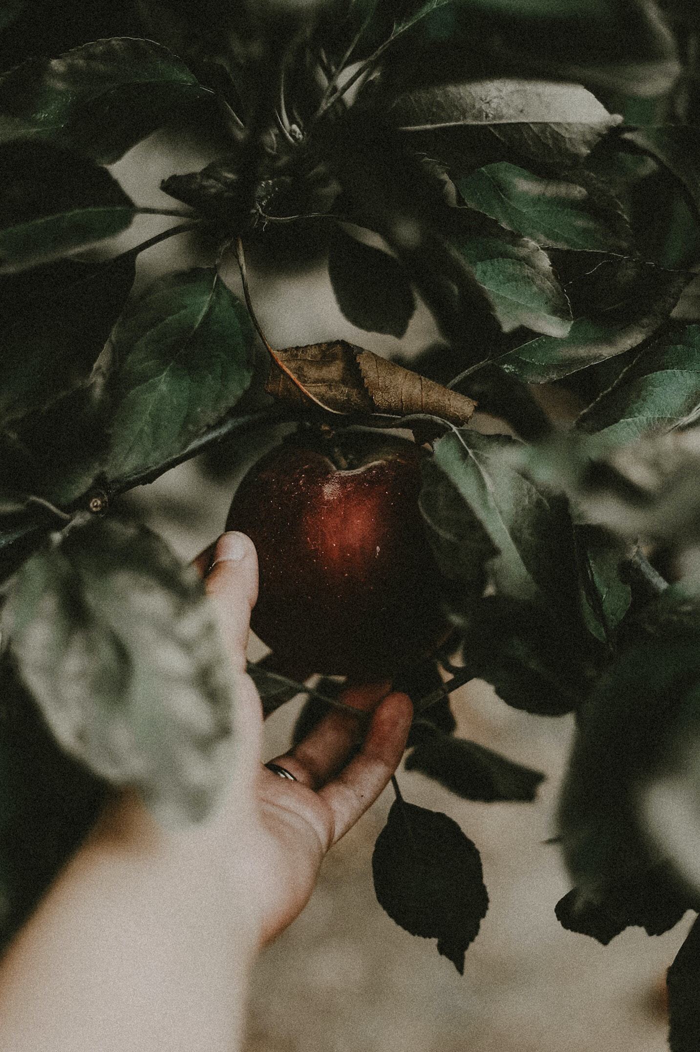 person holding red fruit