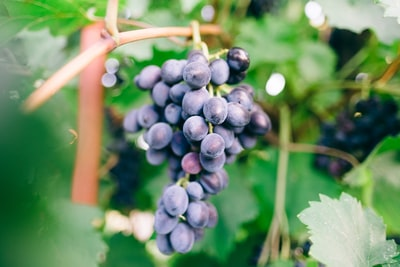 4688. Bor,szőlő, borászatok