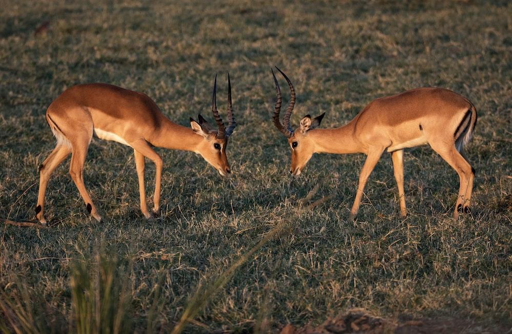 two brown deer on grass field