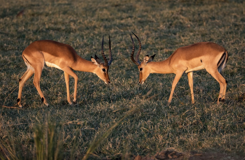 two brown deer on grass field