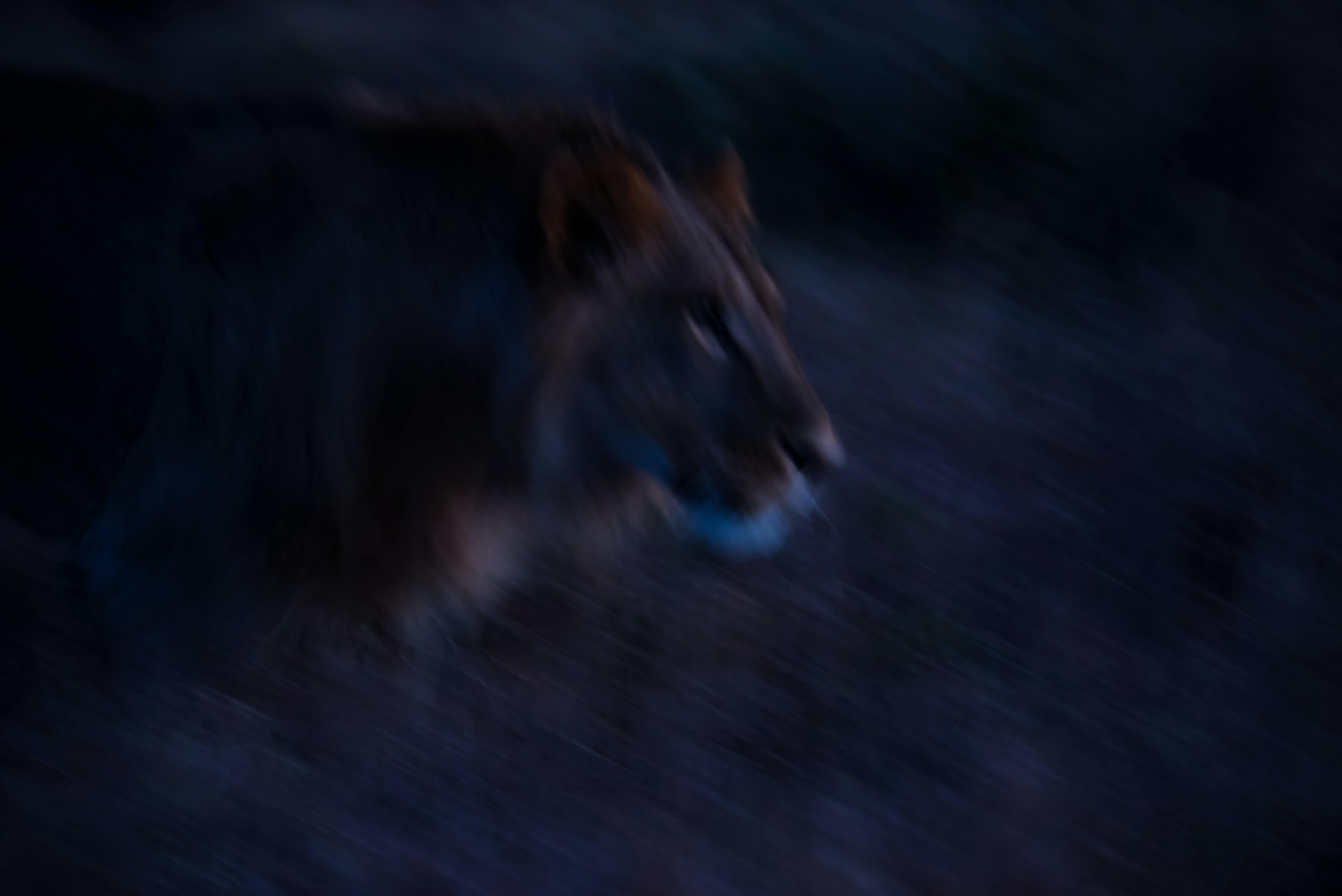 closeup photo of a lion