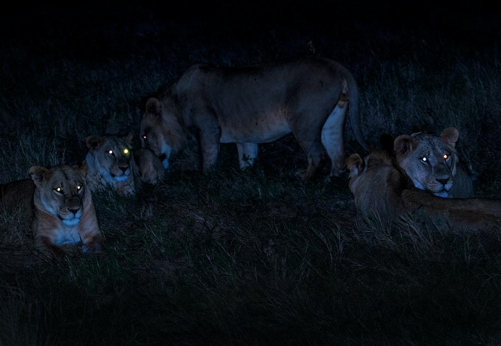 herd of brown lioness
