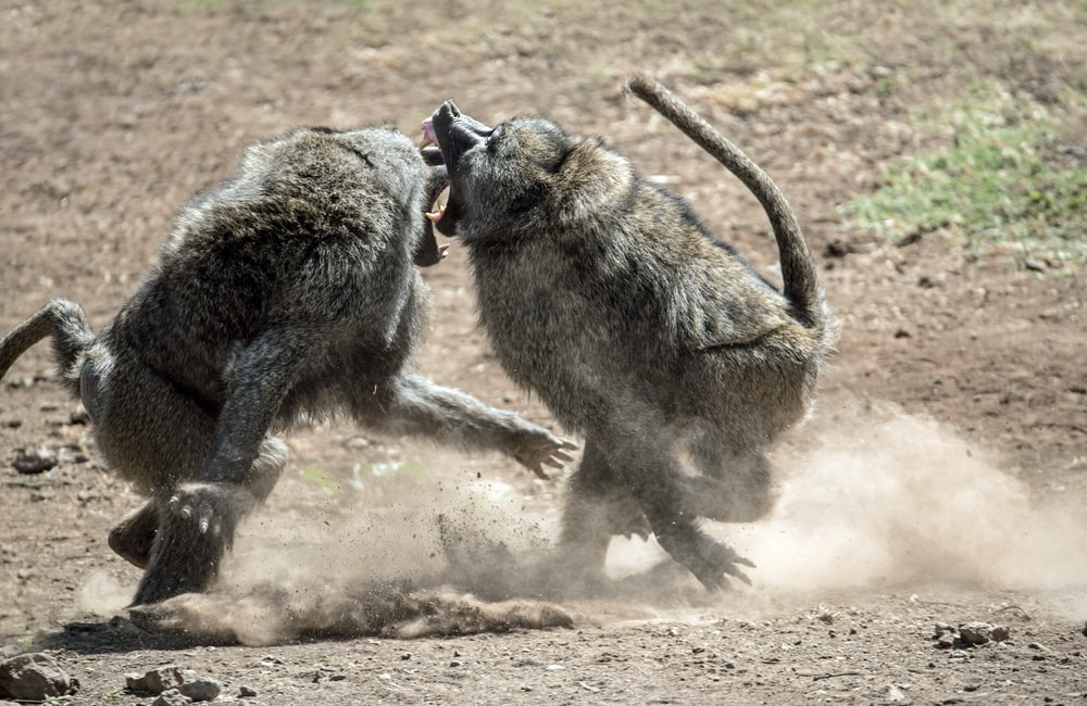 two fighting monkeys on ground