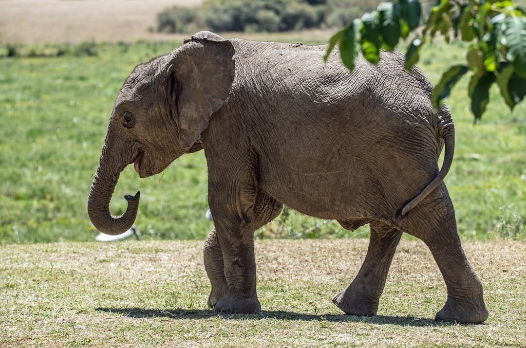 A baby elephant strolls nonchalantly through the camp. Little Governors camp, Masai Mara, Kenya,