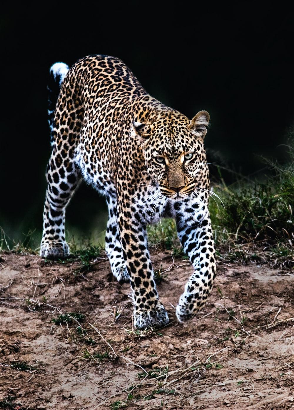 leopard walking in wild
