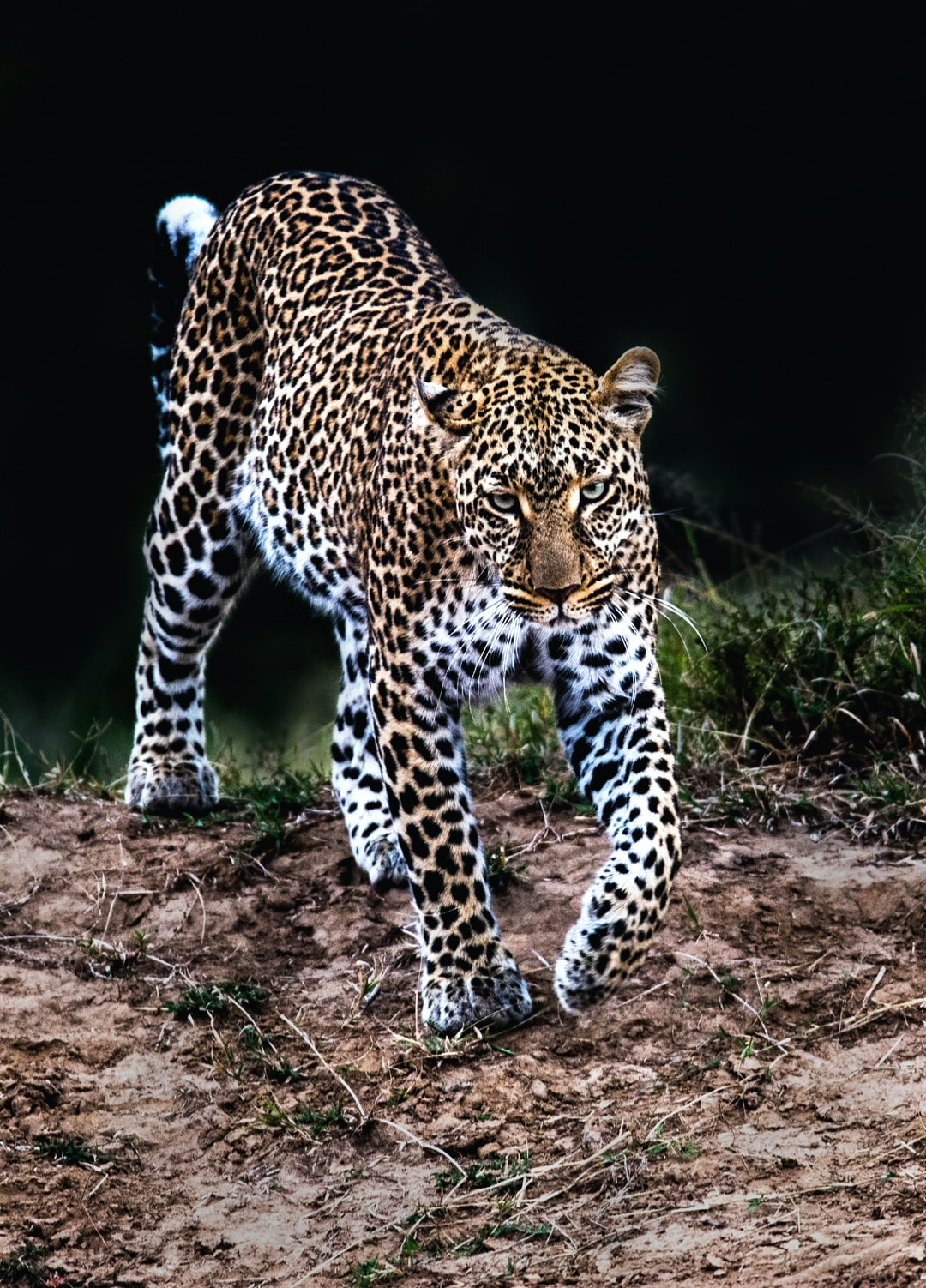 leopard encounter. A gorgeous female leopard patrols her territory in the Masai Mara, Kenya.