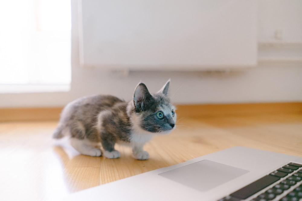 calico kitten standing in front of MacBook Pro