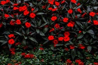 red flowers with black leaves