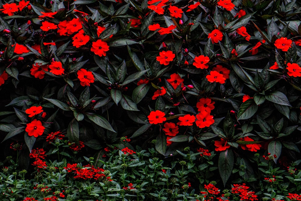 red flowers with black leaves photo – Free Plant Image on Unsplash