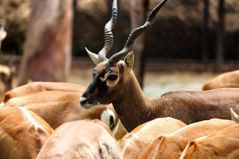 brown antelopes closeup photography