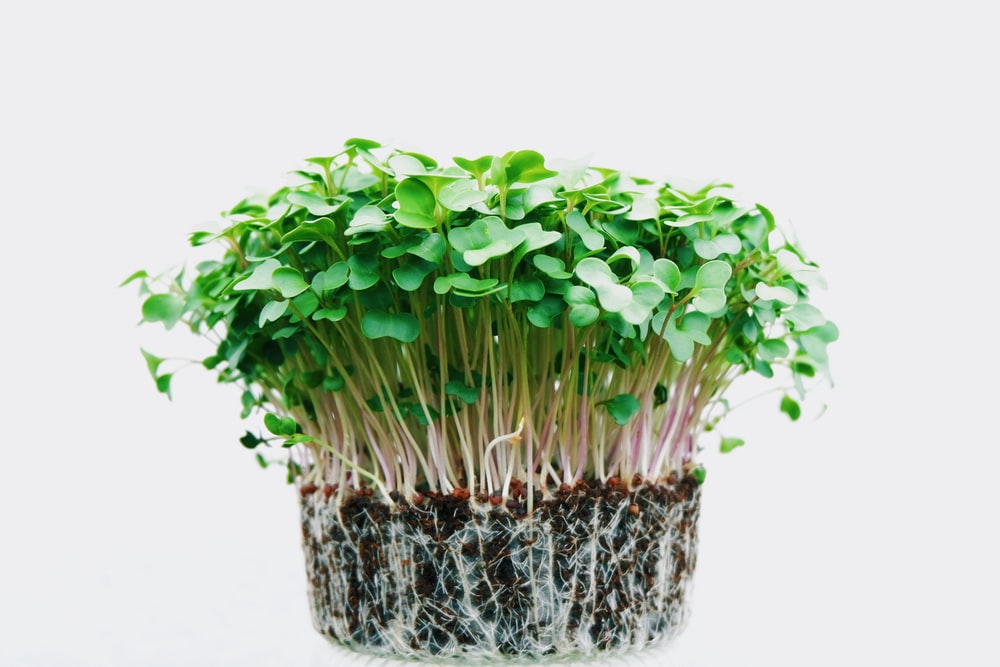 green sprouts illustration