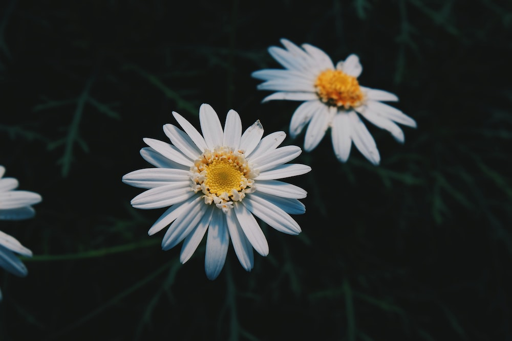 500 daisy pictures download free images on unsplash two white daisy flowers mightylinksfo