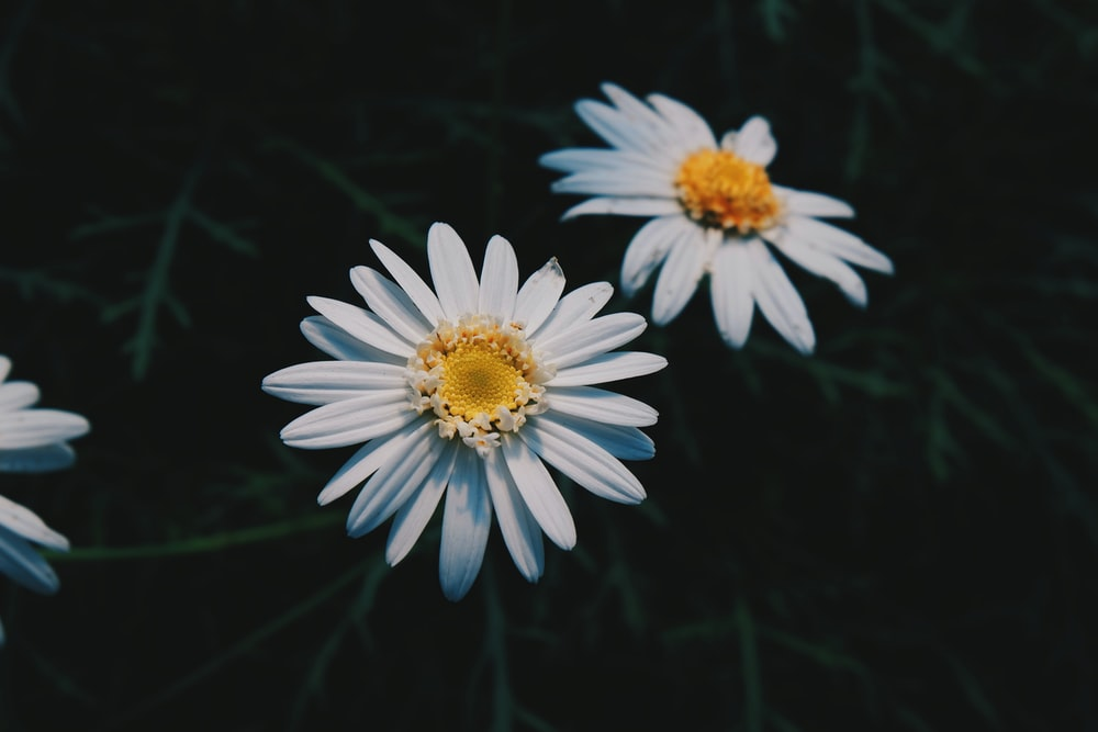 500 white daisy pictures download free images on unsplash