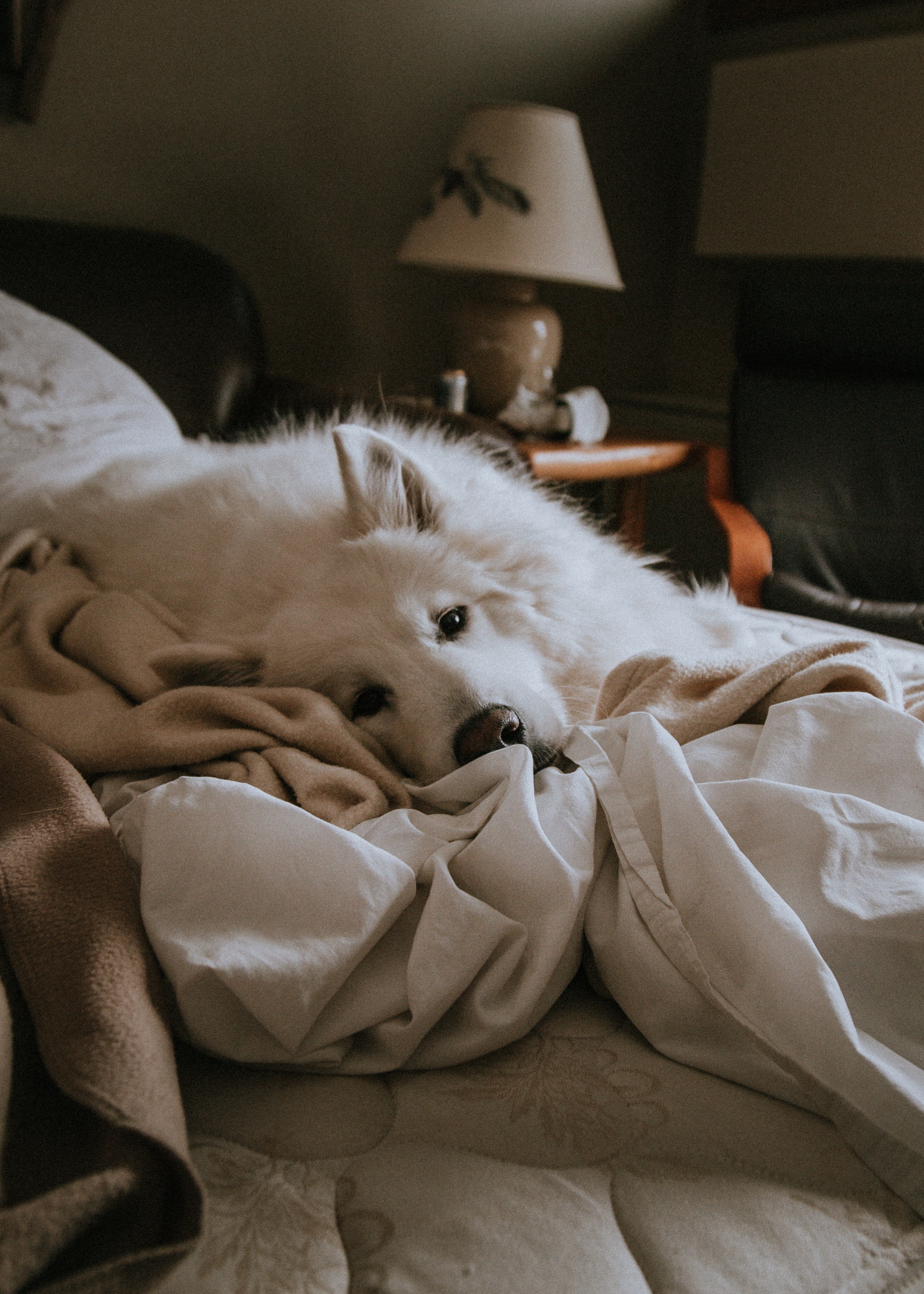 photo of medium white dog lying on white blanket