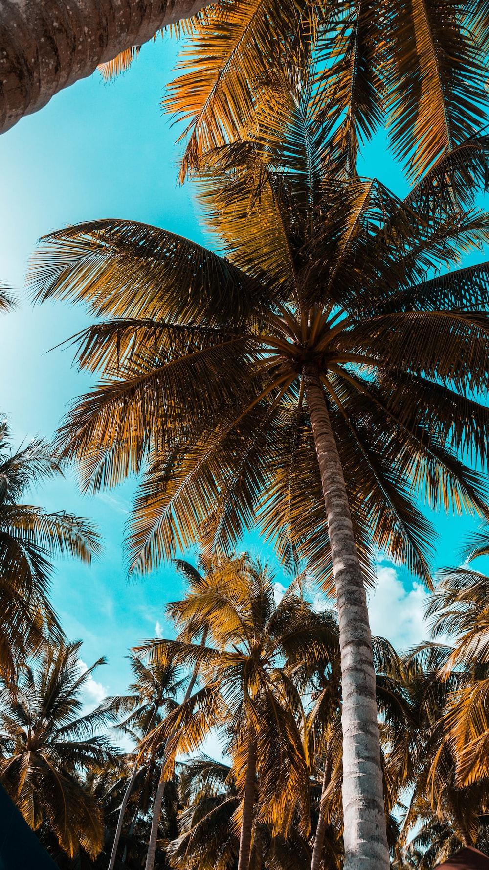 worm's-eye photography of coconut tree