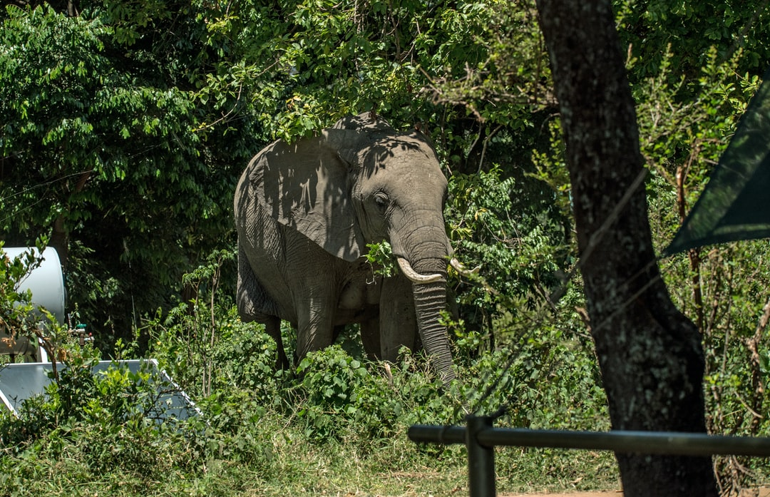 Elephant takeover: the first of the elephants initiating a take over of the camp at Little Governors, Masai Mara.