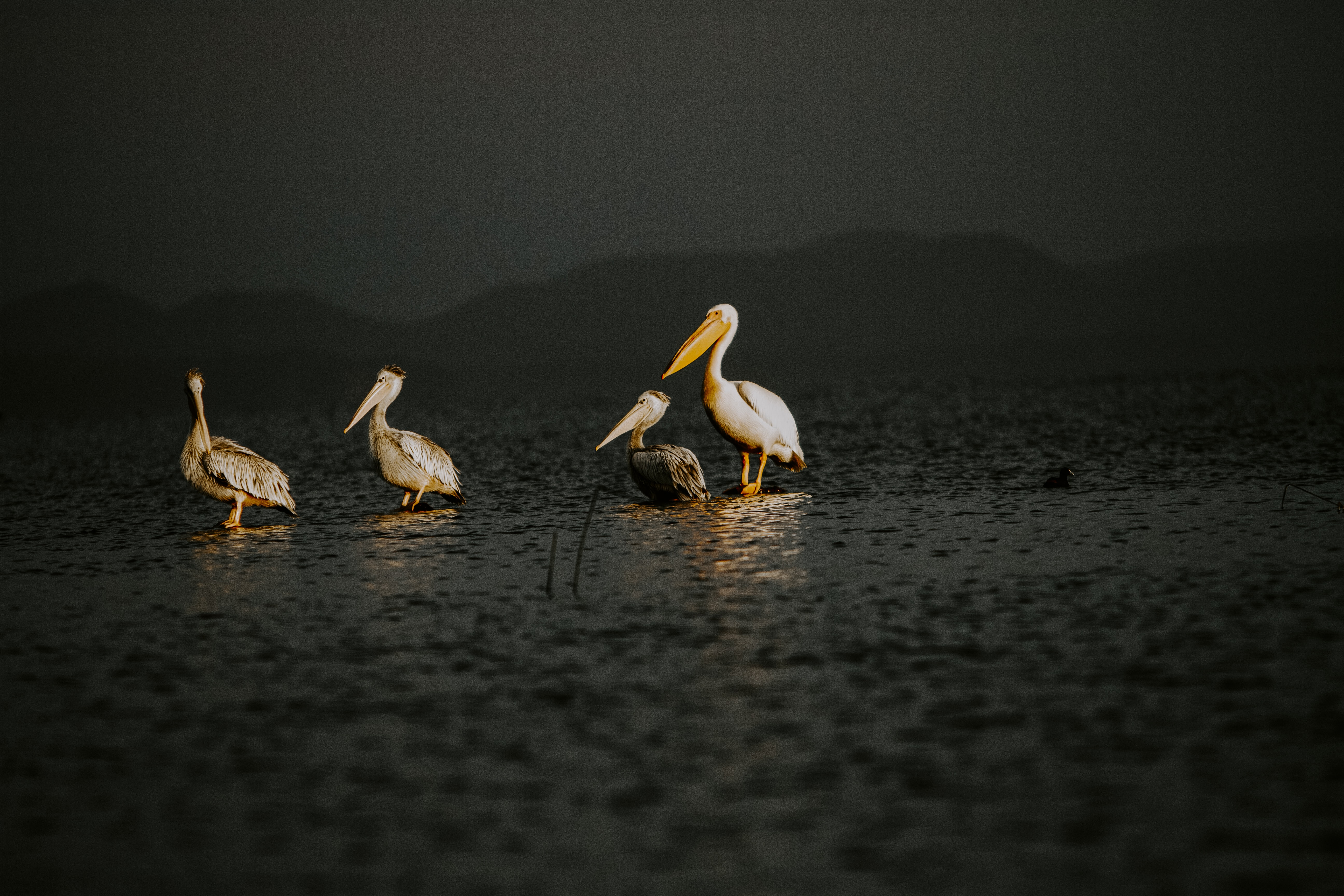 four white pelican birds
