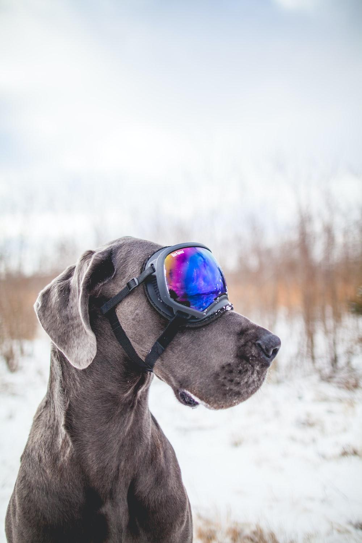 gray dog wearing black snow goggles