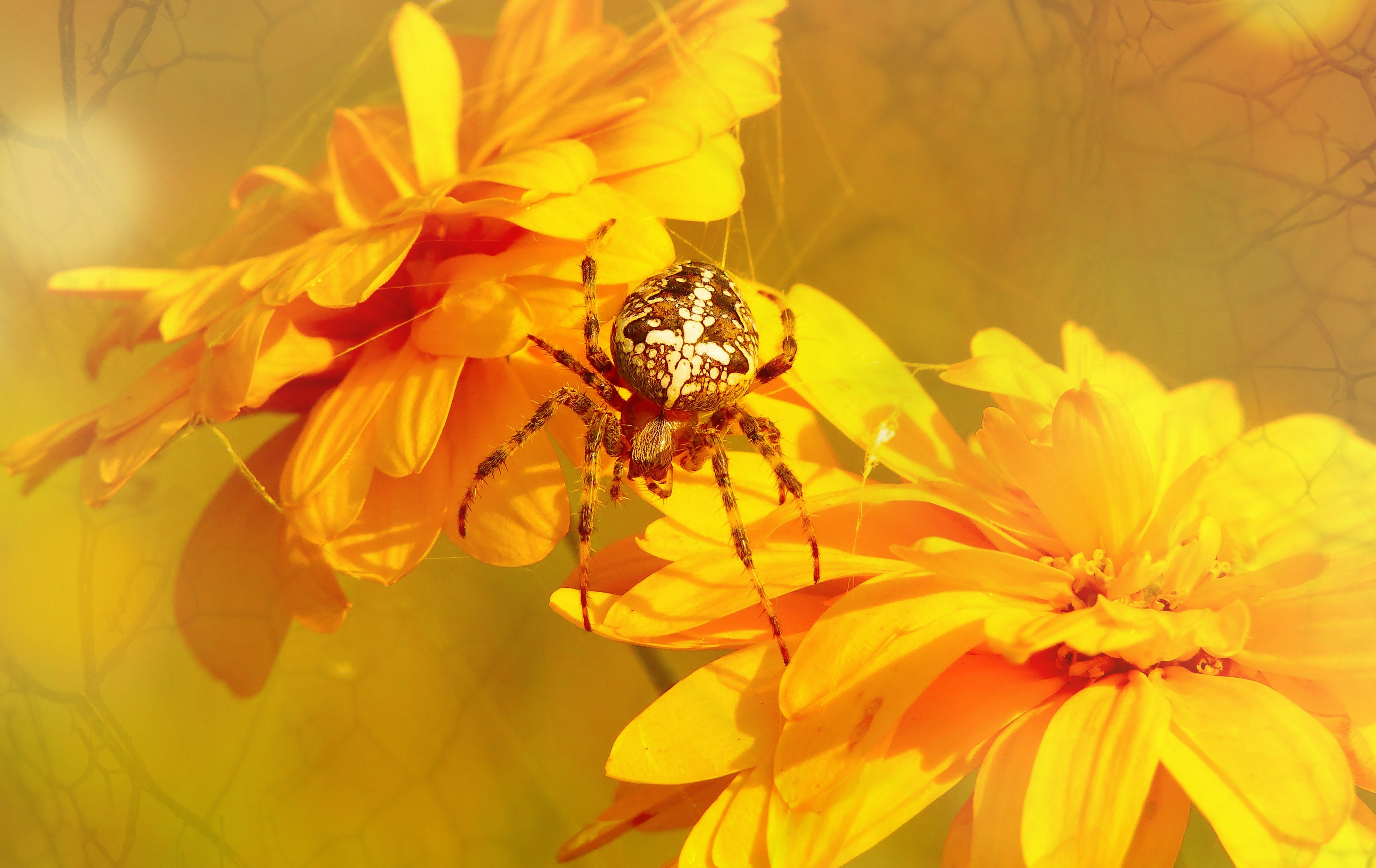 close up photo of brown barn spider near yellow flowers
