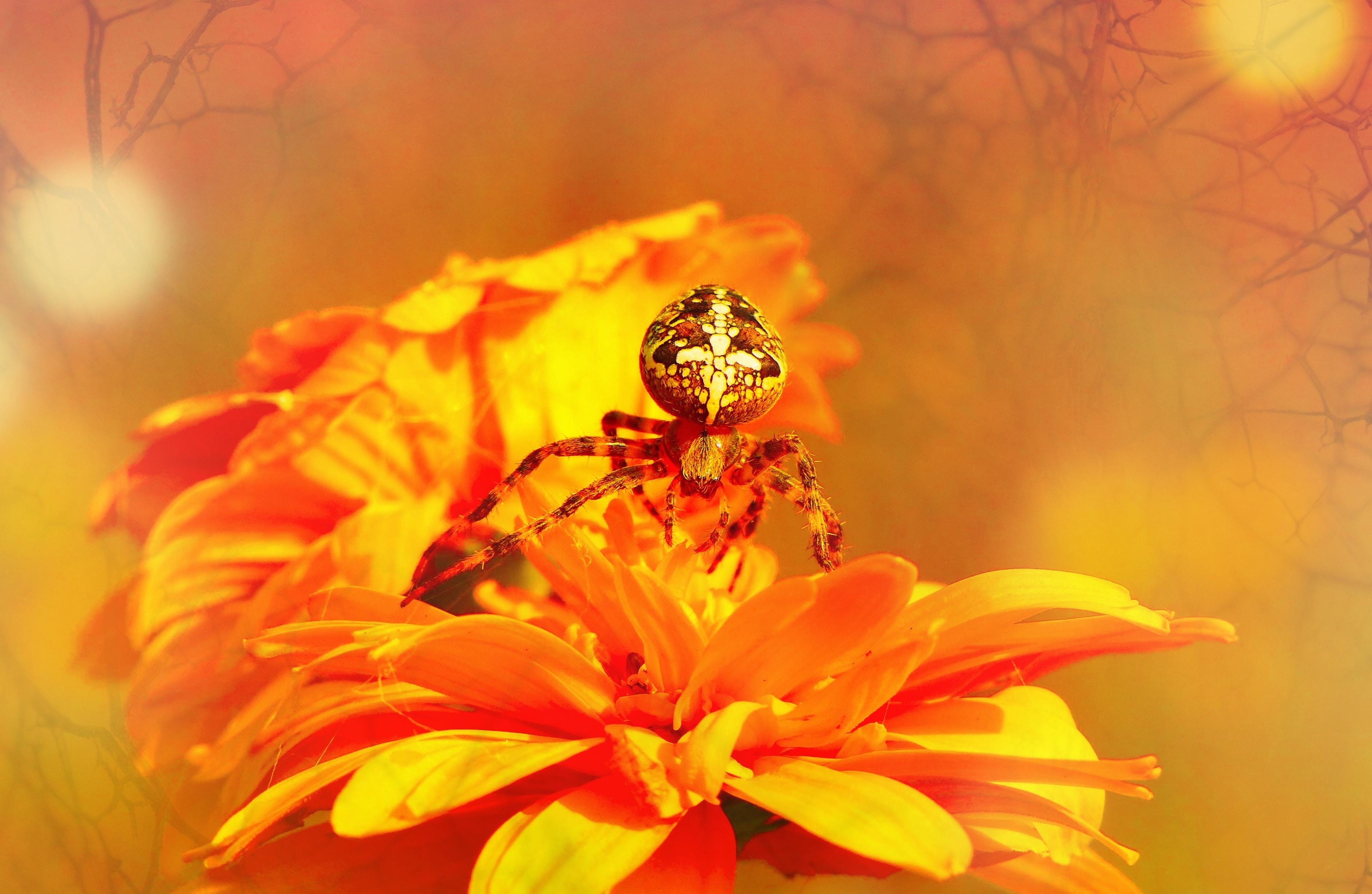 macro photography of spider on orange flowers