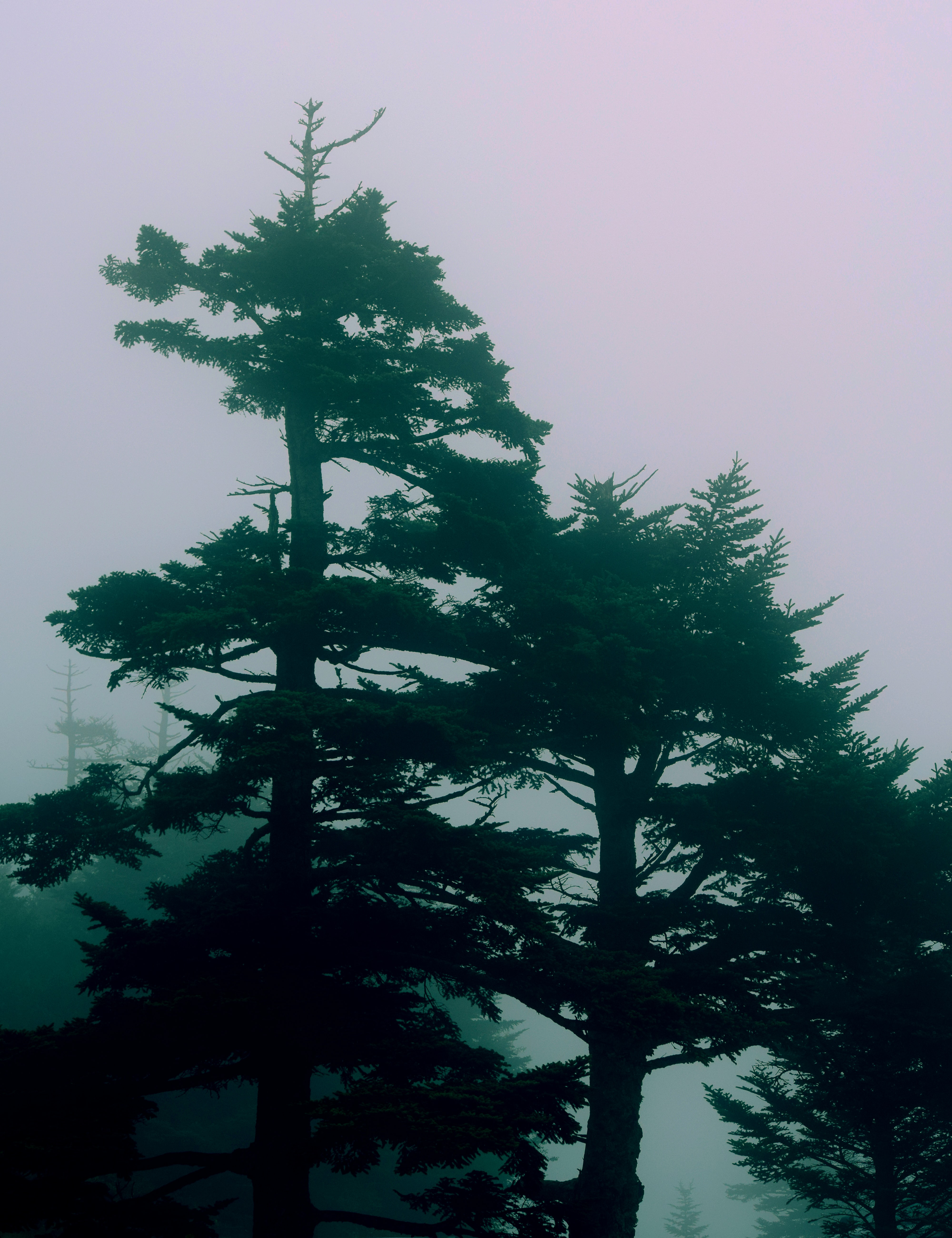 green trees with fog background