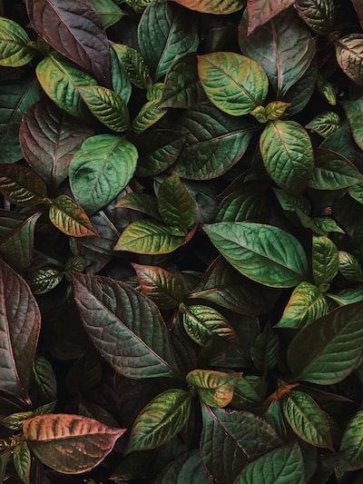ovate green leaf plant