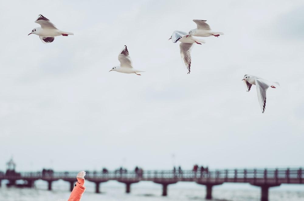 four white flying birds