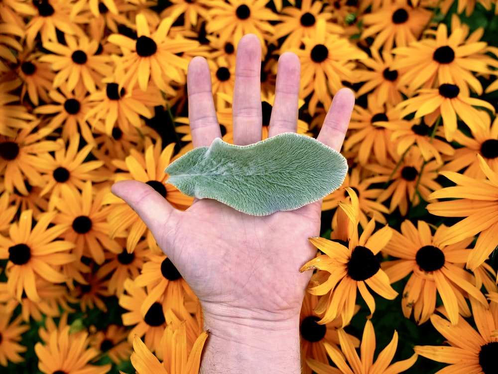 green leaf on person's palm over black eyed susan flowers