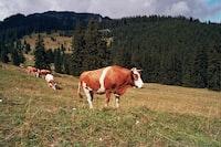 herd of cows on green field