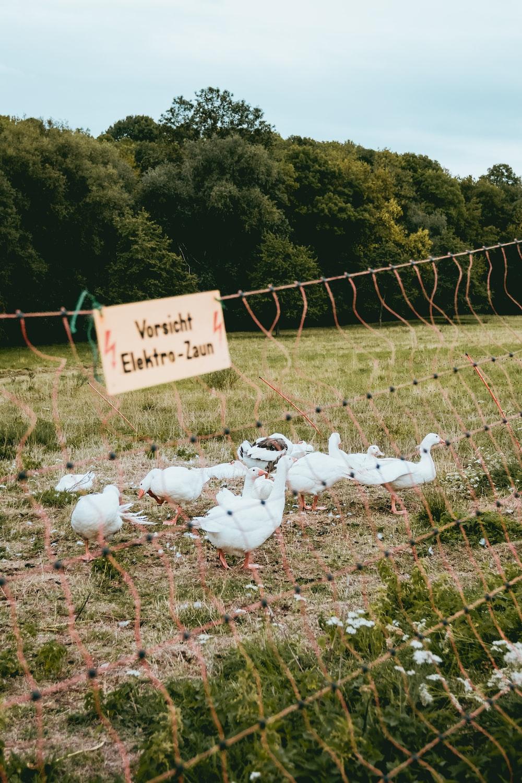 flock of swan during daytime