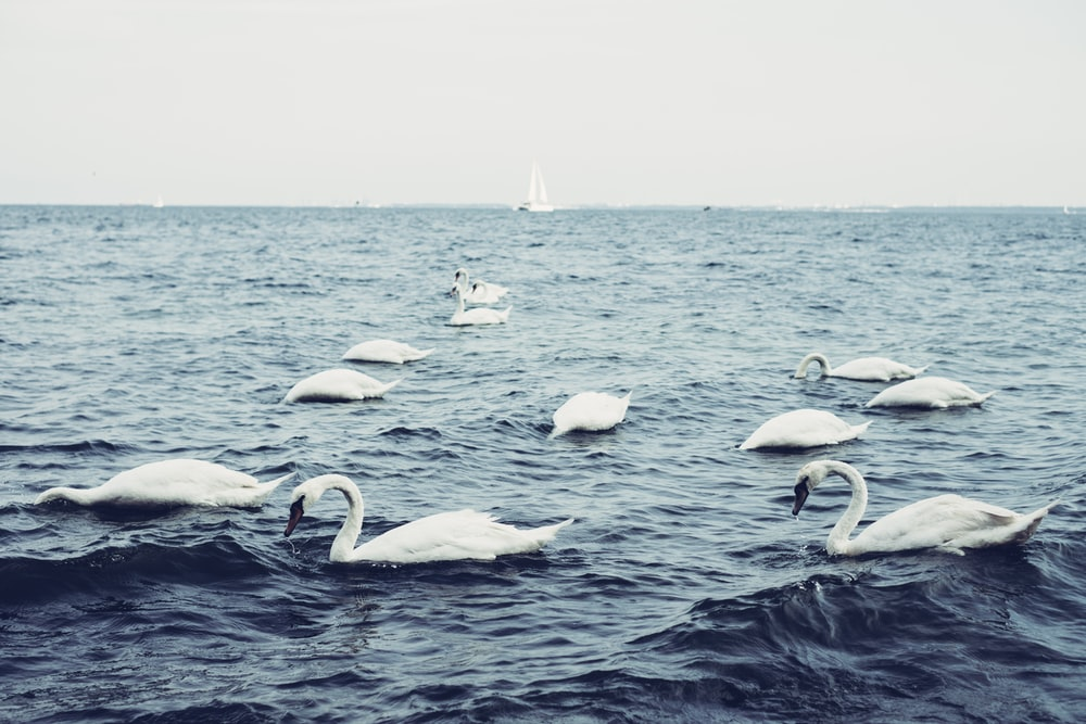 white swans on body of water