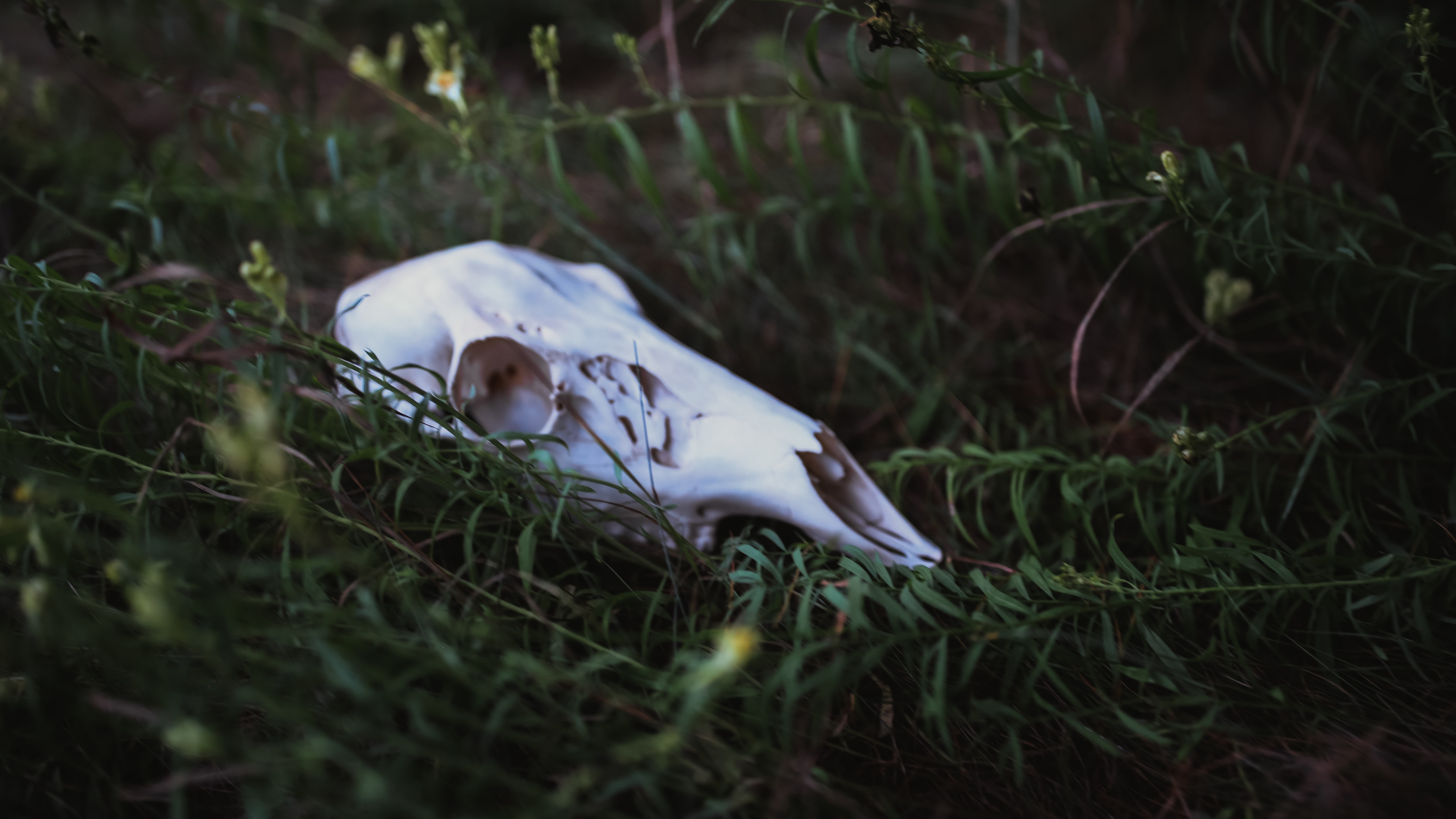 white animal skull on the ground