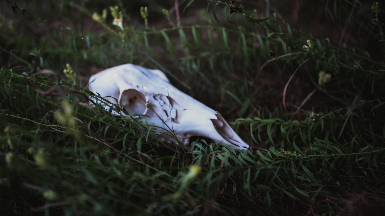 white animal skull on the ground