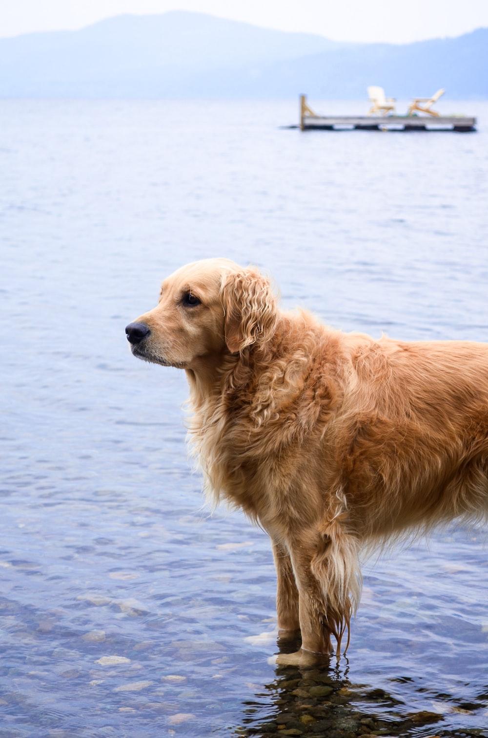 golden retriever on water