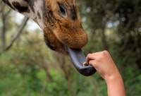 gray animal tongue