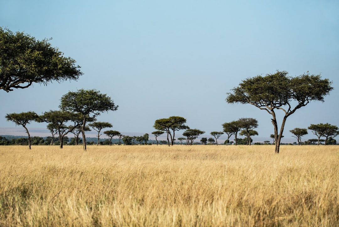 Mara trees. A classic scene in the Masai Mara in Kenya, with dry grass and Balanites aegyptica trees.