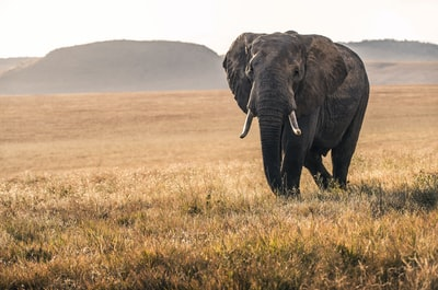 elephant on grass during daytime wildlife zoom background