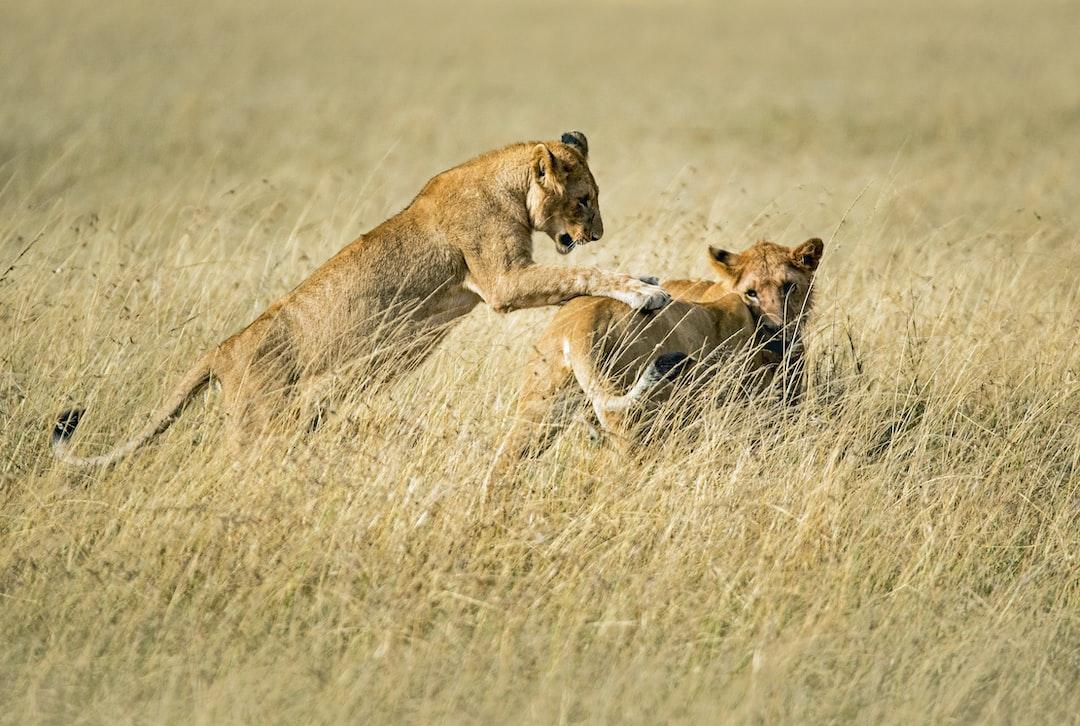 Playing lions pounce on each other. Masai Mara, Kenya.
