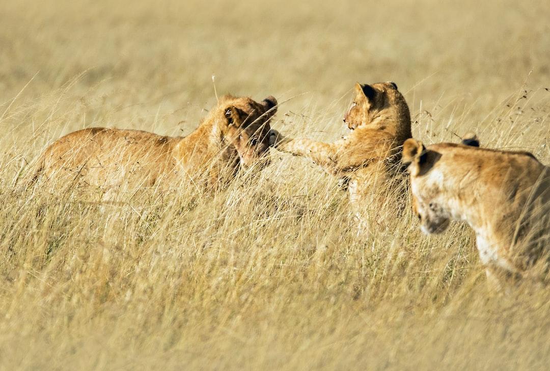 Young lions playing in the Masai Mara, Kenya.