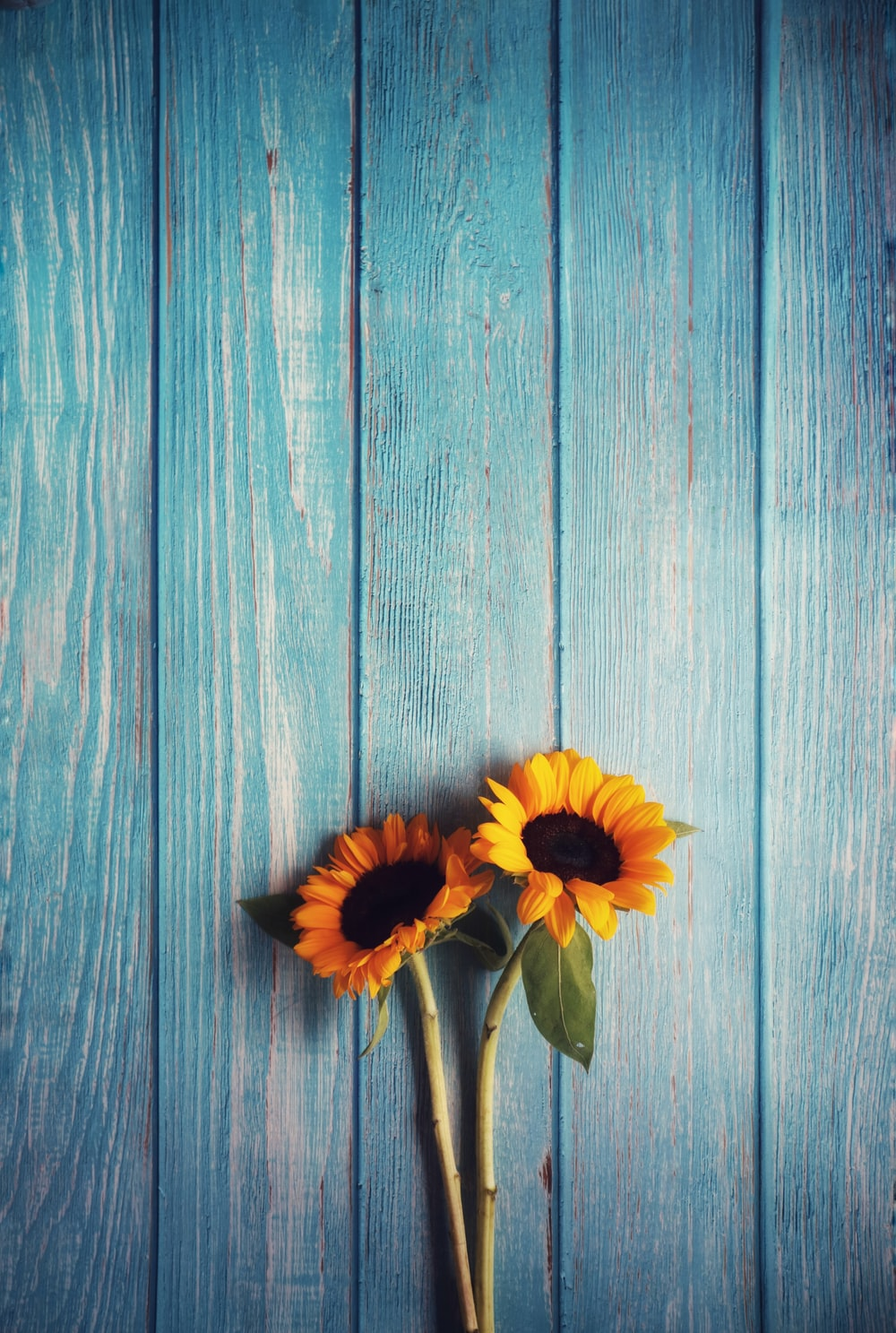 two yellow sunflowers on gray wooden surface