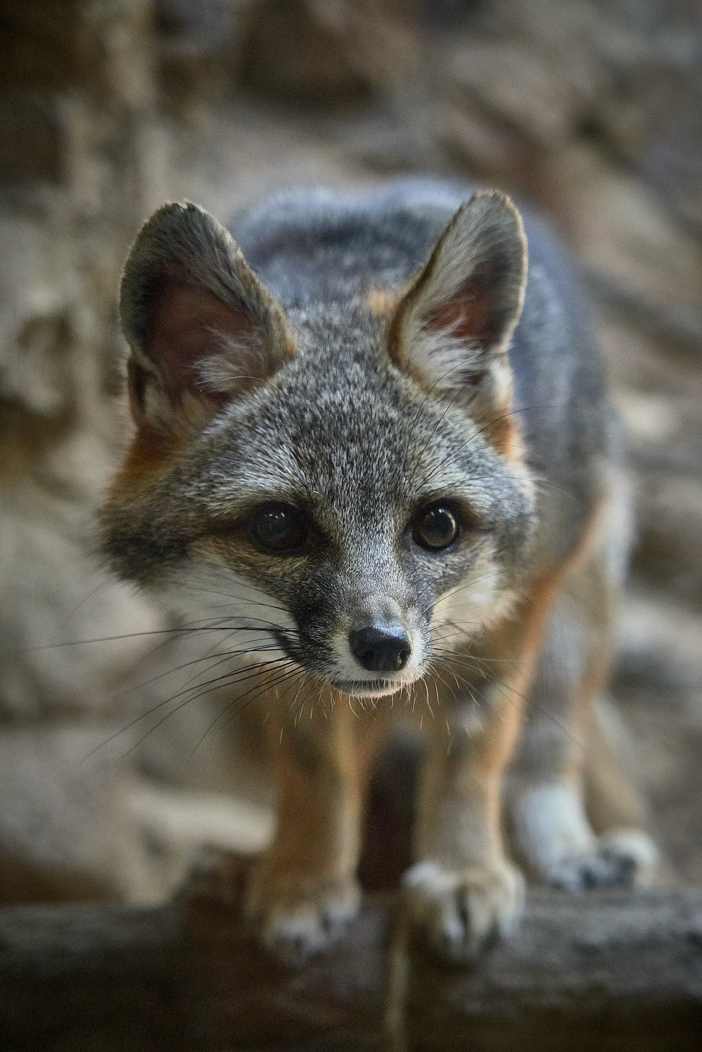 gray and brown fox on gray surface