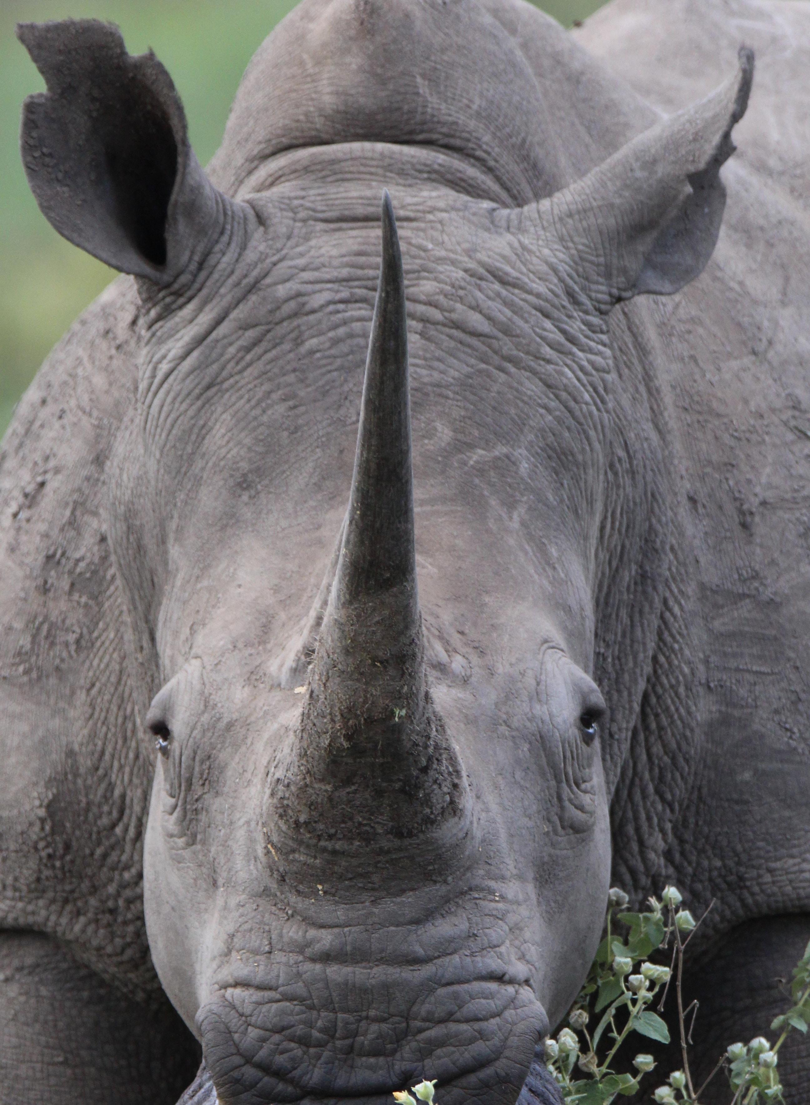 close up photography of gray rhino at daytime